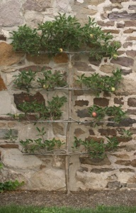 espalier against stone