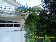 What's prettier than the blue flowers of morning glories?  Nothing!