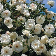 box + roses #5