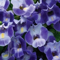 flower torenia #2