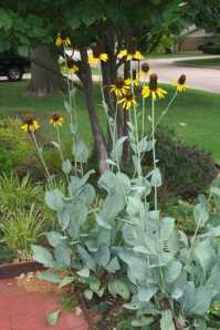 coneflower -- giant