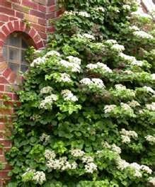lattice #6 climbing hydrangeas