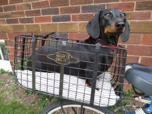 chloe in bike basket