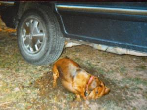"Susie being Susie,  digging for moles. Look!  It's my old ""ride"" --  a dorky Dodge minivan!"