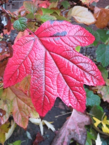 Oak Leaf Hydrangea Every yard should have 1.