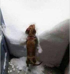 dachsie in snow