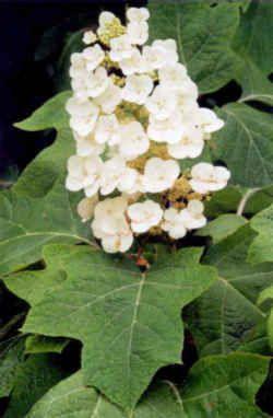oak leaf alabama