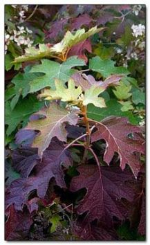 oak leaf hydrangea leaves