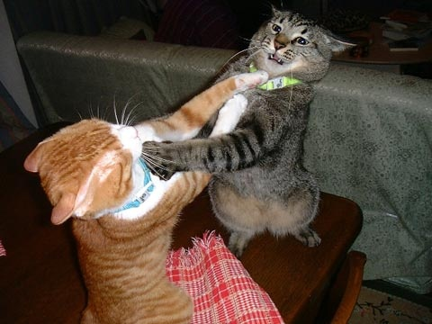 cats-fighting