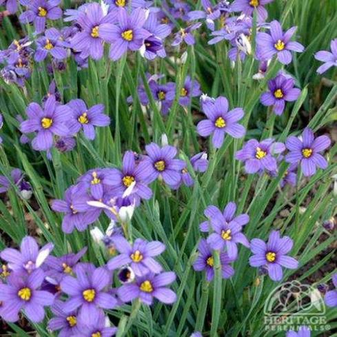plant blue eyed grass