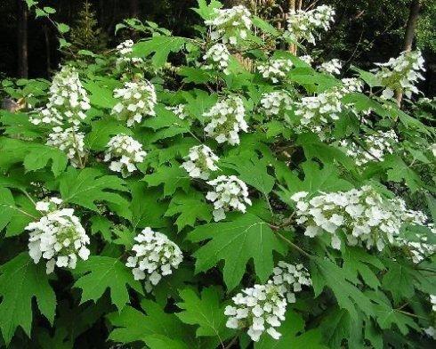 hydrangea oak leaf