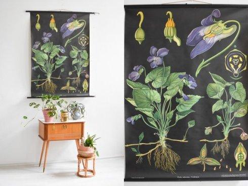 botanical chart -- violet
